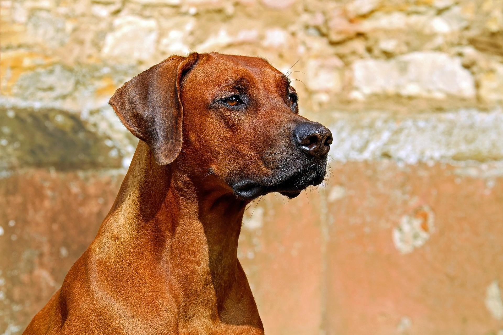 CBD Oil for Dogs with Lymphoma – Cannabis Treats Can Help